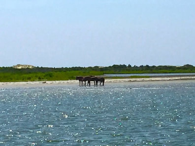 View of the ponies on Assateague Island, MD